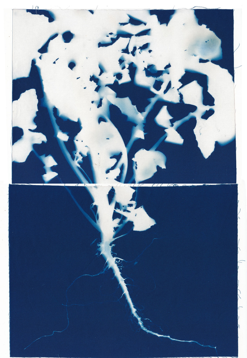 Root, cyanotype on cotton fabric, Mike Tedder