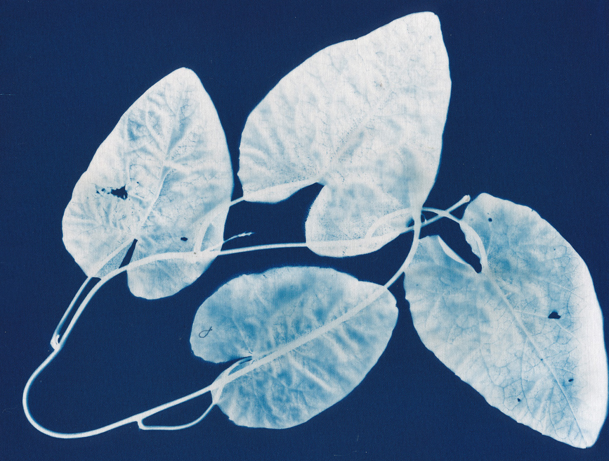 Four Leaves, cyanotype on cotton fabric, Mike Tedder