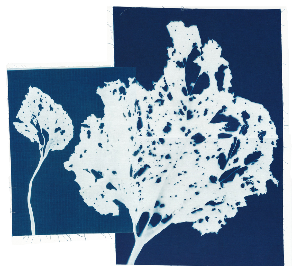 Rhubarb, cyanotype on cotton fabric, Mike Tedder